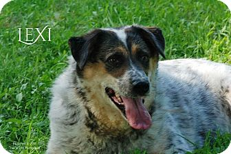 Cattle Dog/Springer Spaniel Mix Dog for adoption in Columbia, Tennessee - Lexi