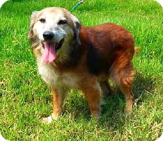 Golden Retriever/Shepherd (Unknown Type) Mix Dog for adoption in Huntington, New York - Brownie - N - Adoption Pending
