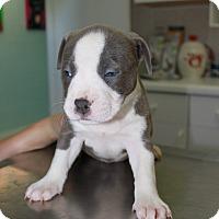 Adopt A Pet :: A Rose Puppy 8 - Pompano Beach, FL