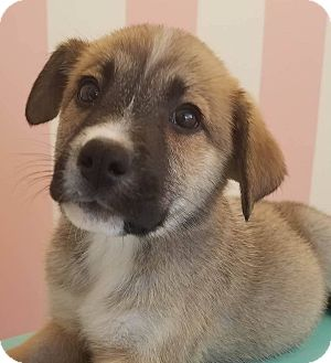 Husky/Shepherd (Unknown Type) Mix Puppy for adoption in CUMMING, Georgia - Kaycee