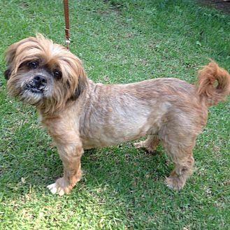 Lhasa Apso Mix Dog for adoption in Los Angeles, California - VANDI