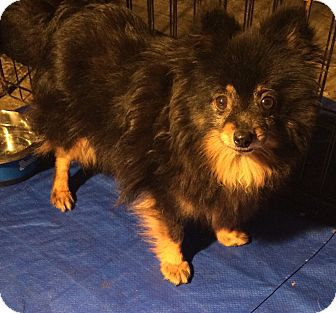 Pomeranian Dog for adoption in Overland Park, Kansas - Tina