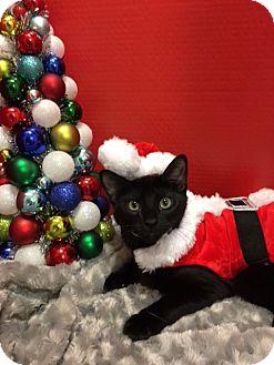 Domestic Shorthair Kitten for adoption in Pasadena, Texas - Simba
