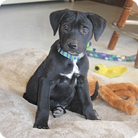 Adopt A Pet :: *Marty - PENDING - Westport, CT