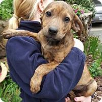 Adopt A Pet :: Layla - Allentown, NJ
