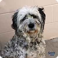 Adopt A Pet :: Spirit - Santa Maria, CA