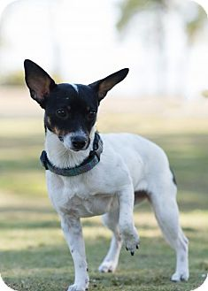 Rat Terrier Mix Dog for adoption in Key Largo, Florida - Penny