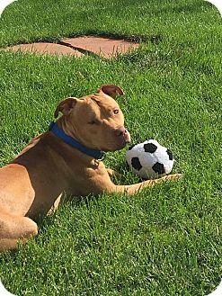 Staffordshire Bull Terrier Mix Dog for adoption in Wymore, Nebraska - Carter