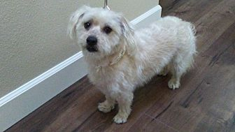 Poodle (Miniature)/Westie, West Highland White Terrier Mix Dog for adoption in Huntington Beach, California - Skipper