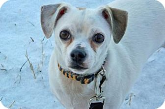 Chihuahua Mix Dog for adoption in Cheyenne, Wyoming - Nosey