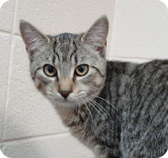 Domestic Shorthair Cat for adoption in Spruce Pine, North Carolina - Chester