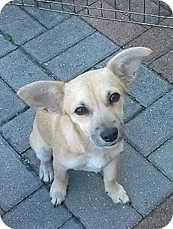 Chihuahua Dog for adoption in West Palm Beach, Florida - Twilight