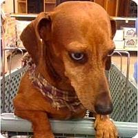Adopt A Pet :: PJ - Kingwood, TX
