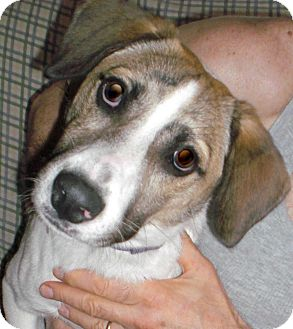 Terrier (Unknown Type, Medium)/Beagle Mix Dog for adoption in Bartonsville, Pennsylvania - Barney