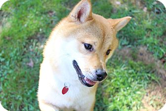 Shiba Inu Puppy for adoption in Manassas, Virginia - Akio