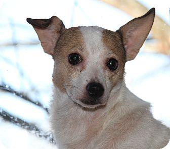 Rat Terrier Mix Dog for adoption in Marietta, Ohio - Phoebe