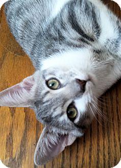 Domestic Shorthair Kitten for adoption in Morganton, North Carolina - Alice