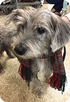 Schnauzer (Standard) Mix Dog for adoption in Madisonville, Louisiana - Bob