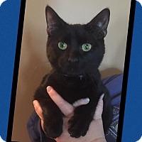 Adopt A Pet :: Lycan - Scottsdale, AZ
