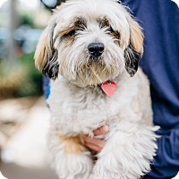 Adopt A Pet :: Doodle is blind-he don't mind - Los Angeles, CA