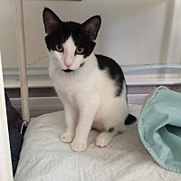 Adopt A Pet :: Rorschach - Middletown, NY
