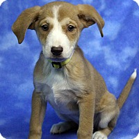 Adopt A Pet :: CARINA - Westminster, CO