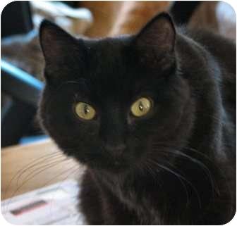Domestic Mediumhair Cat for adoption in Fairbury, Nebraska - Rowan