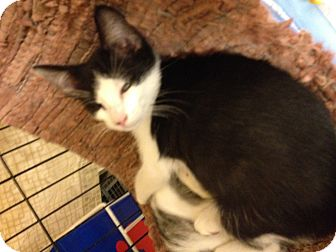 Domestic Shorthair Kitten for adoption in Fort Lauderdale, Florida - Josh