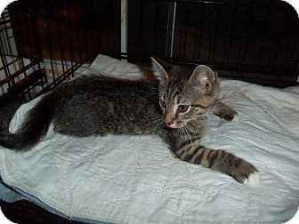Domestic Shorthair Kitten for adoption in Catasauqua, Pennsylvania - Bruno