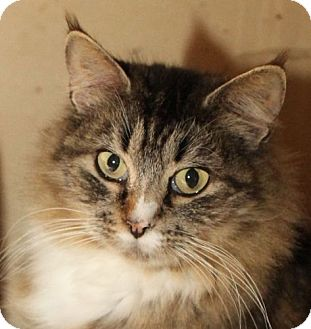 Domestic Longhair Cat for adoption in Winston-Salem, North Carolina - Athena