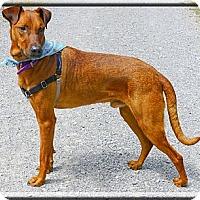 Adopt A Pet :: Henry easy best boy - Sacramento, CA