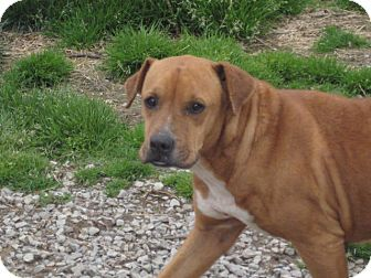 Boxer/American Staffordshire Terrier Mix Dog for adoption in Boaz, Alabama - Angel