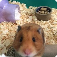 Adopt A Pet :: Hamsters - Middle Island, NY