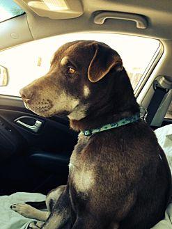 Labrador Retriever/Doberman Pinscher Mix Dog for adoption in Pena Blanca, New Mexico - MURPHY