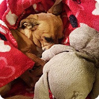 Chihuahua/Dachshund Mix Dog for adoption in Laguna Hills, California - Ranger
