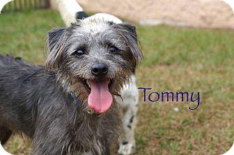 Tibetan Terrier/Shih Tzu Mix Dog for adoption in Myakka City, Florida - Tommy