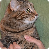 Domestic Shorthair Cat for adoption in Stanford, California - Cleo (Cute Video!)