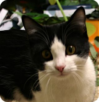 Domestic Shorthair Cat for adoption in Hastings, Nebraska - Dice