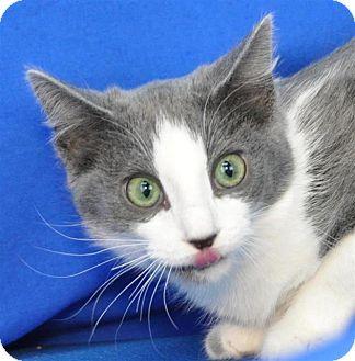 Domestic Shorthair Cat for adoption in Pagosa Springs, Colorado - Hera