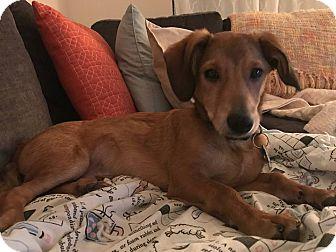 Dachshund Mix Puppy for adoption in Alpharetta, Georgia - Bailey Irish Cream