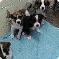 Adopt A Pet :: Opie - Danbury, CT