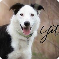 Adopt A Pet :: Yeti - Joliet, IL