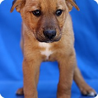 Adopt A Pet :: Calvin - Waldorf, MD