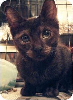 Domestic Shorthair Kitten for adoption in Brooklyn, New York - Mimi