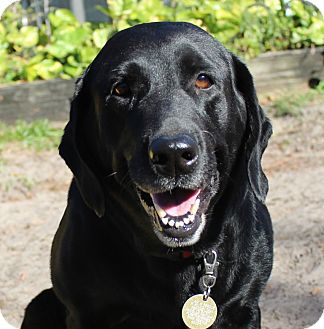 Labrador Retriever Mix Dog for adoption in Largo, Florida - Sadie