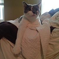 Adopt A Pet :: Simon  *Declawed* - Covington, KY
