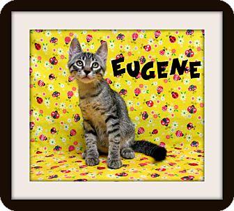 Domestic Shorthair Kitten for adoption in Tracy, California - Eugene