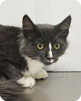 Domestic Mediumhair Kitten for adoption in Springfield, Illinois - Humphrey