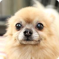 Adopt A Pet :: Shorty - Romeoville, IL