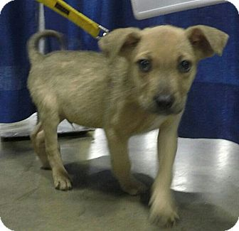 Shepherd (Unknown Type)/Terrier (Unknown Type, Medium) Mix Puppy for adoption in Detroit, Michigan - Chucky-Adopted!